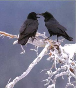 Ravens. Female homosexual pairs occur in Ravens. Birds in same-sex pairs engage in intense courtship activity similar to heterosexual pairs, such as mutual preening and courtship-feeding.[i]