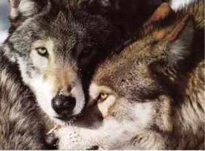 Wolves. Among Wolves homosexual mounting occurs frequently when the breeding female is in heat. Non-breeding animals help the breeding female raise her young -- feeding, guarding and baby-sitting them.[i]
