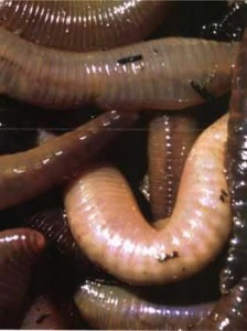 Worms . Individual worms typically have both male and female organs. To mate they align their bodies with a partner and cross-fertilize one another simultaneously.[i]